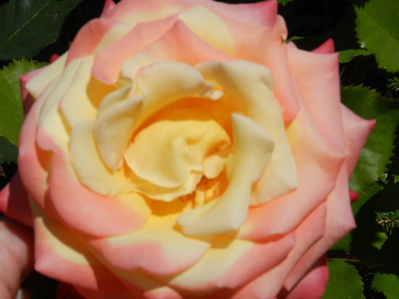 100681-Chicagp peace rose