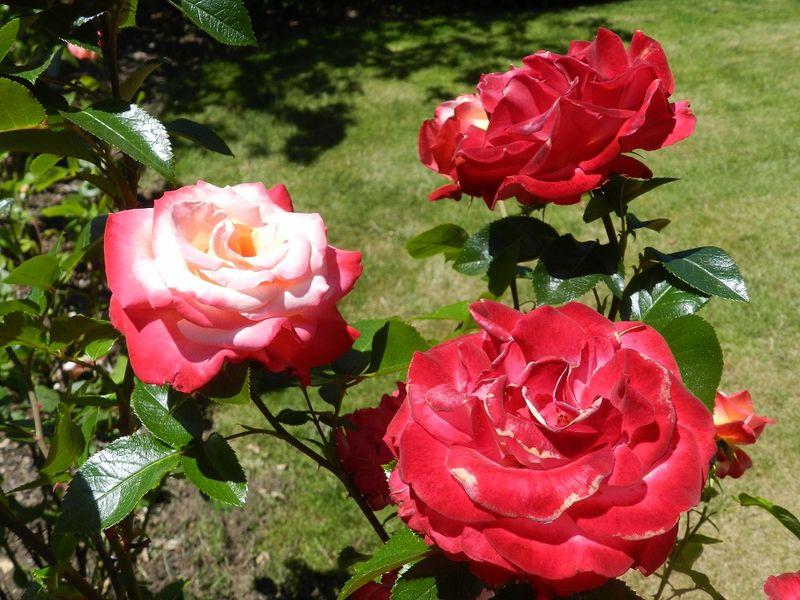 100682-Dick Clark rose