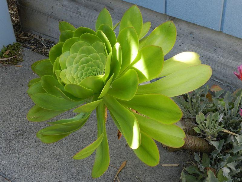 100692-Queen Succulent