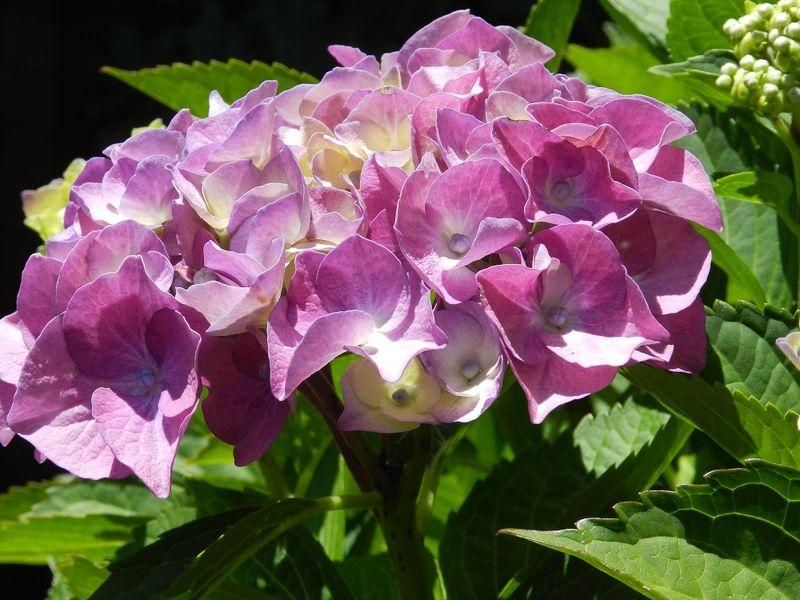100684-Purple hydrangea