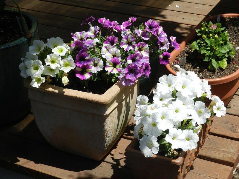 100679-purple petunias