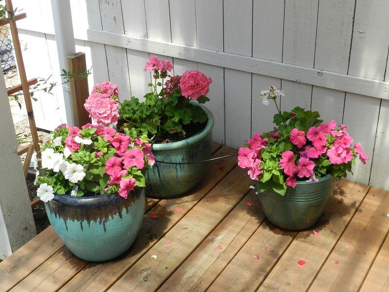 100680-pink geraniums