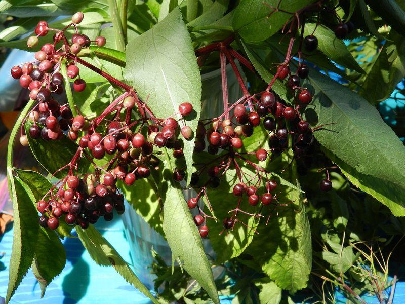 100697-Elderberries