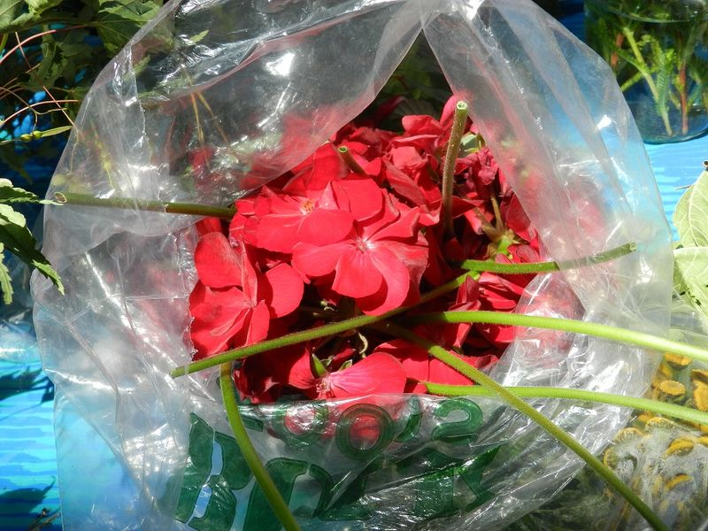 100700--Dyeing with red geranium petals