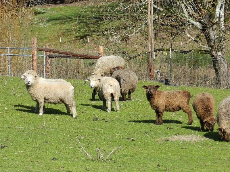 100061-Sheep in field