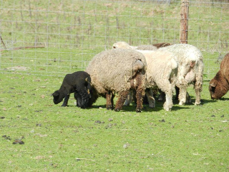 100062-the favorite lamb