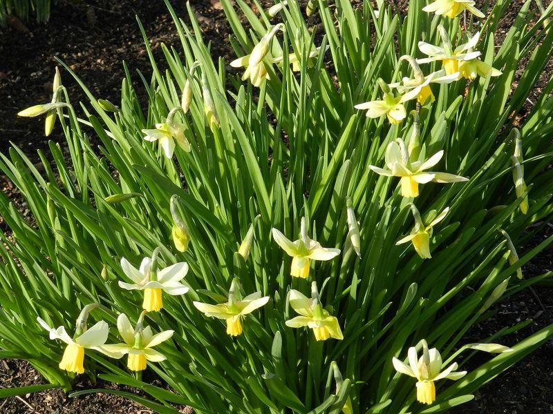 100077-tiny daffodils