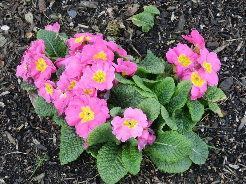 100079-pink primrose