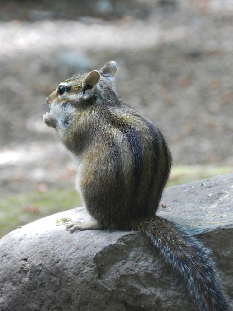 1000146-sideview chipmunk