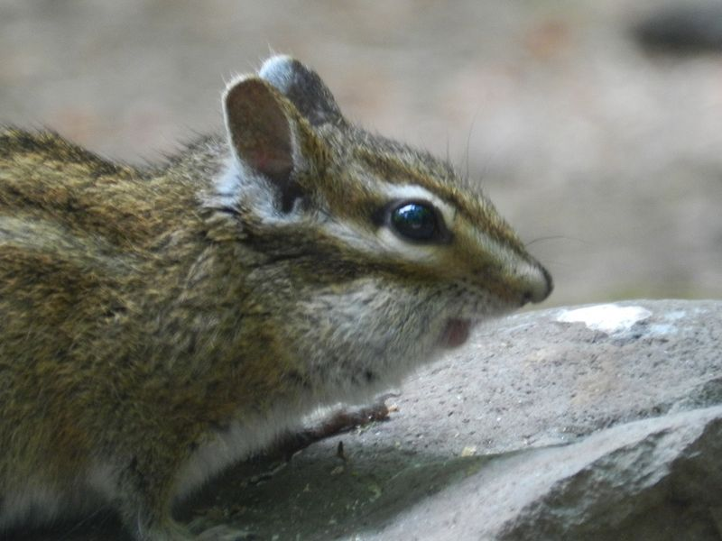 1000150-chipmunk portrait