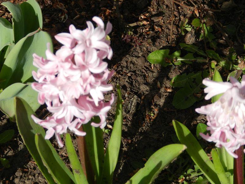 100078-hyacinths