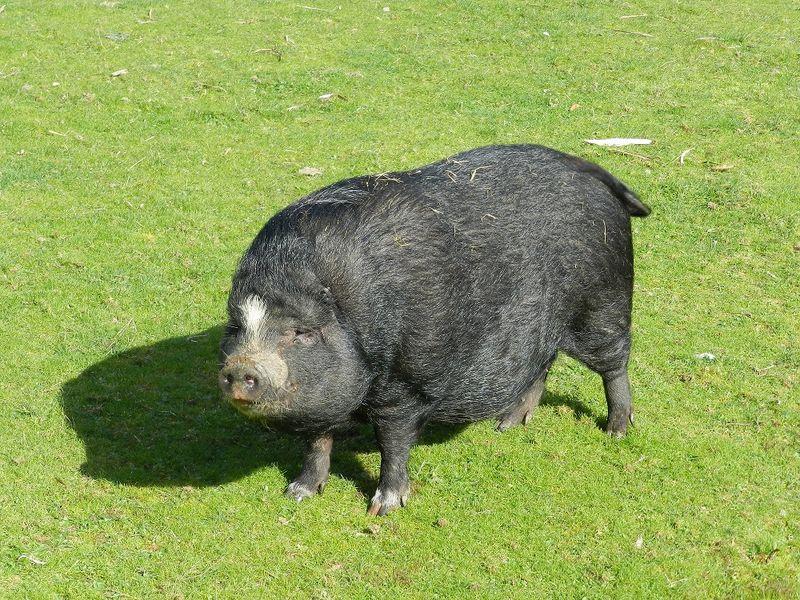 100060-Pig