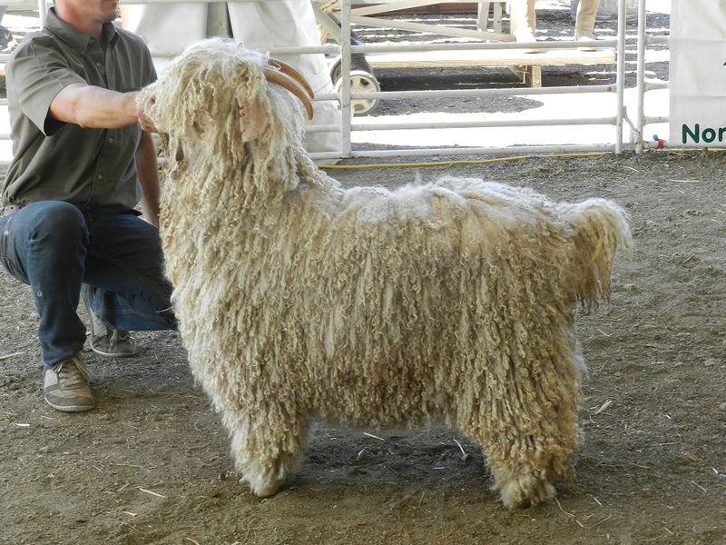 1000281-Grand Prize Angora Goat